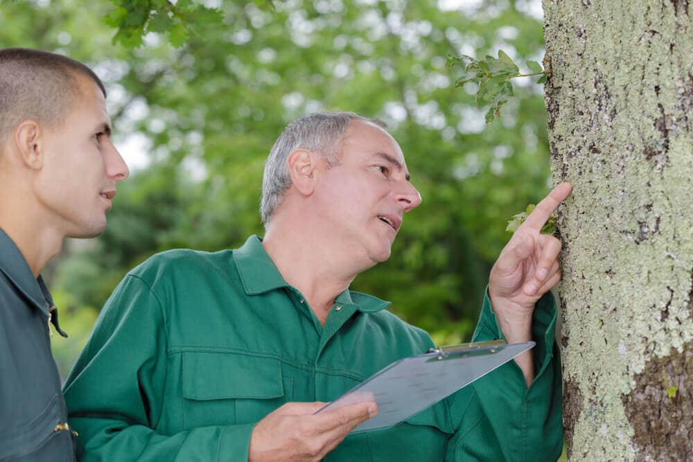 tree specialists inspecting lichen on the trunk Tree Inspections San Jose